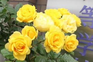 薔薇の花が咲きました